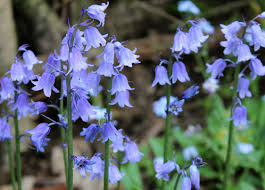 bluebells and love
