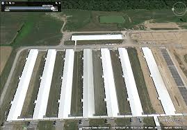 """Image result for factory farming chickens """"org"""""""