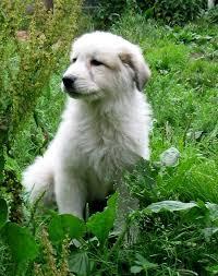white bernese mountain dog. Brilliant Mountain White Bernese Mountain Dog Puppies On White Bernese Mountain Dog M