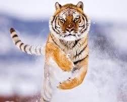 30+ Free Beautiful Tiger HD Wallpapers ...