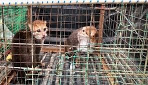 Dua Ekor Kucing Hutan Terancam Dirampas Dayakdaily