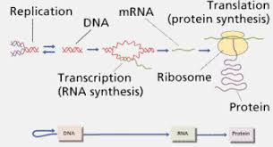 protein synthesis in order acirc order custom essay mechanism for luminol synthesis