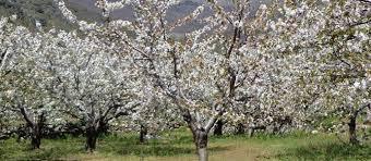 Resultado de imagen de floracion del cerezo 2016