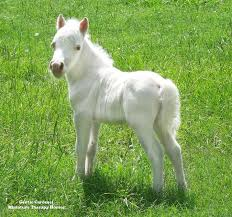 baby white horse. Delighful Baby Cute White Miniature Horse Foal  Therapy Horses Of Gentle Carousel Our  With Baby White Horse W