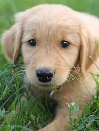 Small Picture 189 best Simply Golden Puppies images on Pinterest Animals