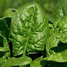 giant nobel spinach seeds 5 lb bulk seed heirloom non gmo gardening seed slow bolt garden spinach microgreens seed com