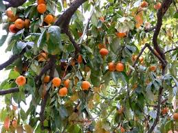 Persimmons Are The Edible Fruit Of A Number Of Species Of Trees In ...