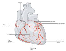 Cardiac Anatomy Chart Coronary Circulation Part One