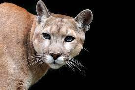 Pumas - [GEO]