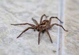 Spider Identification Chart California Are Wolf Spiders Poisonous Terminix