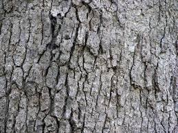 Types Of Oak Trees With Pictures Of Trunk Bark Owlcation
