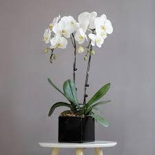 big flowers phalaenopsis orchid spop2