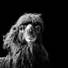 black and white animal photography. Brilliant And Black And White Fine Art Animal Portraits By Lukas Holas 6 Photograph  For Black And White Animal Photography