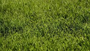 carpet grass. healthy carpet grass can improve the appearance of a warm, southern landscape.
