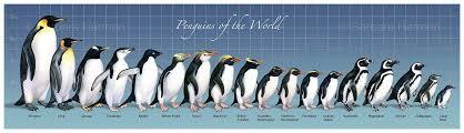 Penguin Size Comparison Penguins Types Of Penguins Animals