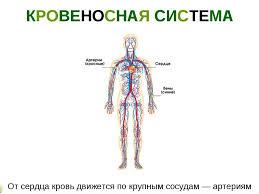 Реферат кровоносна система людини > найдено в каталоге Реферат кровоносна система людини