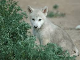 white wolf pup with blue eyes.  White Wolf Pup Jpg To White Pup With Blue Eyes P