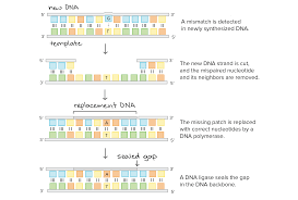 Dna Replication Definition Dna Proofreading And Repair Article Khan Academy