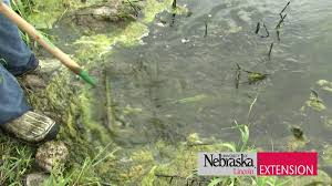 Small Picture Controlling Algae and Weeds in a Pond YouTube