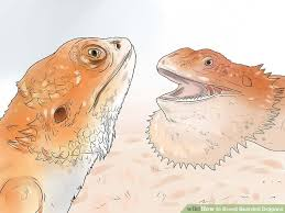 image titled breed bearded dragons step 9