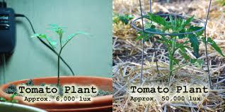 Lighting Requirements Of Tomato Plant Aquarium Article Digest