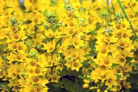 lysimachia punctata yellow loosestrife whorled loosestrife garden loosestrife dotted loosestrife yellow
