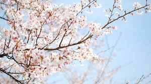 Image result for cherry blossom wallpaper