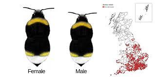 Bee Identification Chart Uk Bumblebee Species Guide Bumblebee Conservation Trust