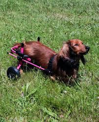 dachshund in pink wheelchair by k9 carts