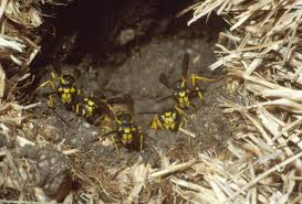 ground dwelling bees social wasps and bees in the upper midwest insects university of
