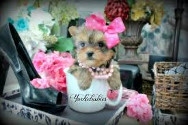 joy 3800 rare beautiful chocolate and gold teacup yorkie she is an absolute beauty gold in color with chocoate as well very short and pact