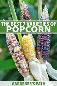Growing Popcorn The Best 7 Varieties Of Popcorn To Grow Your Own