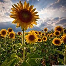 Sunflowers HD desktop wallpaper ...