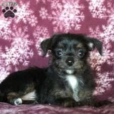 a chi poo puppy named flipper