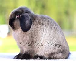 Mini Lop Colour Chart Arba Recognized Colors