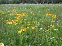 flor de Aceitilla en campo에 대한 이미지 검색결과