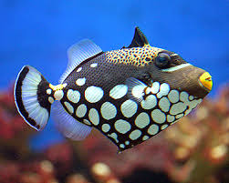 clown triggerfish. Exellent Triggerfish Clown Triggerfish In T