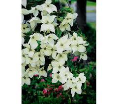 Japanischer Blumen Hartriegel China Girl Dehner Garten Center