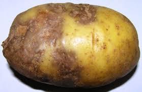 Фитофтороз картофеля признаки причины профилактика Болезнь пасленовых культур фитофтора