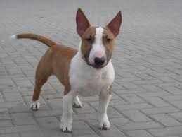 miniature bull terrier. Beautiful Bull A Couple Of Minis Have Been Exported To Our Neighbouring Countries  Namibia And Zambia For Miniature Bull Terrier R