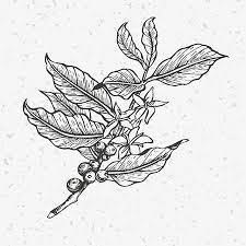 coffee plant illustration vector. Delighful Coffee Coffee Tree Illustration Illustration For Plant Vector F