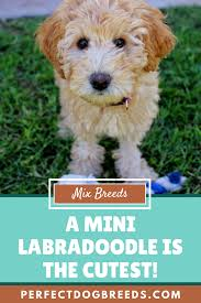 Labradoodle Designer Dogs The Mini Labradoodle Is A Smart Sassy And Sweet Designer