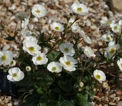 Alpines - Herbaceous Alpines - Ranunculus parnassifolius