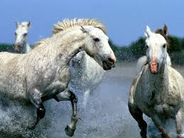 beautiful horses running in water. Perfect Water Horses Running In Water Animals Wallpapers For Beautiful In Water