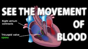 Images heart Red Heart Healthline The Pathway Of Blood Flow Through The Heart Animated Tutorial Youtube
