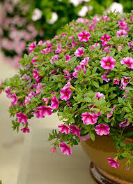meet 12 of the best container plants