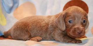 isabella tan mini dachshund puppies for in wa or ca az