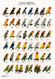 Lovebird Color Mutations Chart Love Bird Color Mutations Birds Pet Birds African