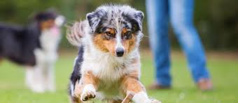 toy australian shepherd