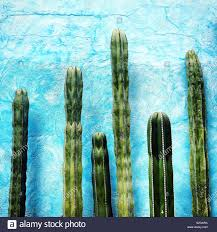 Light Blue Cactus Cactus In Front Of A Light Blue Wall Decorates An Hotel In